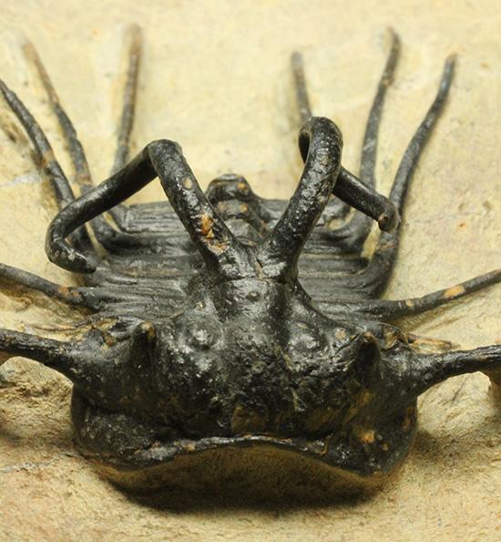 三葉虫ディクラヌルス・モンストローサス