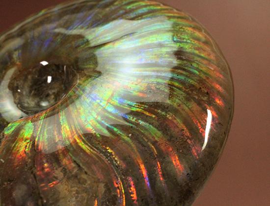 光るアンモナイトマダガスカル産クレオニセラス化石