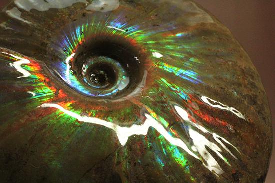 七色に光るマダガスカル産クレオニセラス