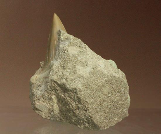 古代ザメの歯化石オトダス(Otodus)