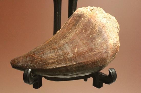 モササウルス歯化石