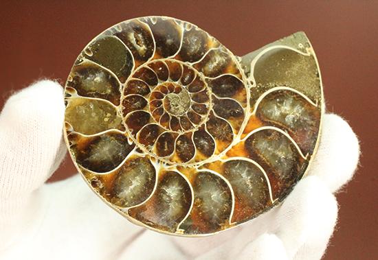厚みあり!丸みが愛らしいマダガスカル産アンモナイトのスライスカット標本