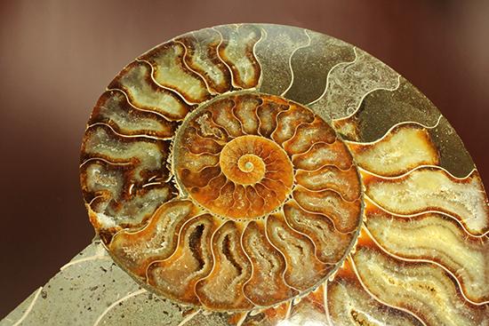 マダガスカル産アンモナイト(Ammonite)