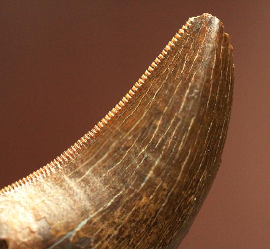 鳥肌の立つインナーセレーション!ティラノサウルス・レックスの幼体の歯化石