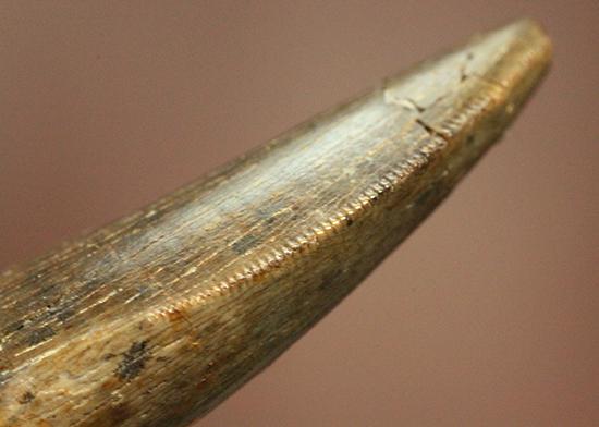 ロングカーブ計測37mm、抜群のアウターセレーションを有するティラノサウルス・レックスの幼体歯