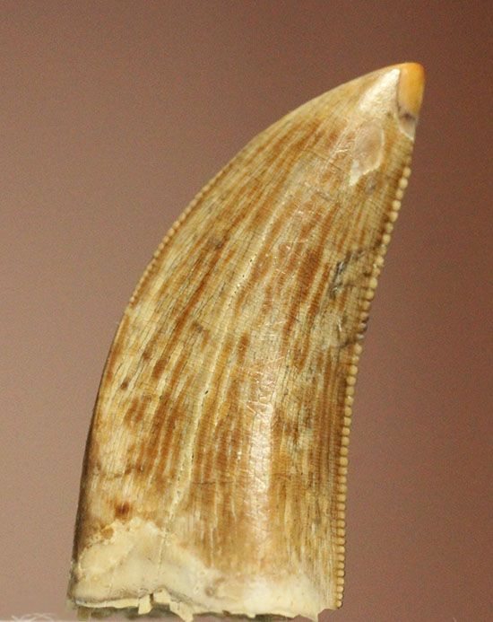 インナーのセレーション抜群!ナイスカラー!ティラノサウルス・レックスの幼体の歯化石