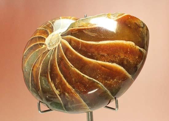 オウムガイの化石