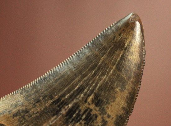 良質のティラノサウルス・レックスの幼体の歯化石