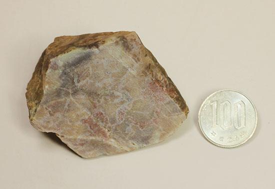 恐竜のウンチ化石コプロライト(Coprolite)
