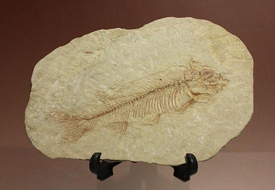 ワイオミング州魚化石ナイティア