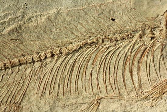 魚化石ナイティア