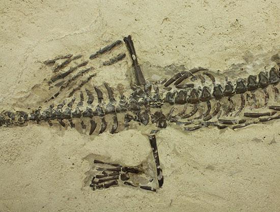 メソサウルス
