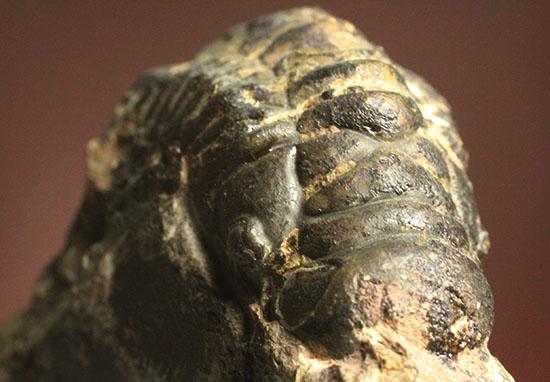 三葉虫クロタロセファルス