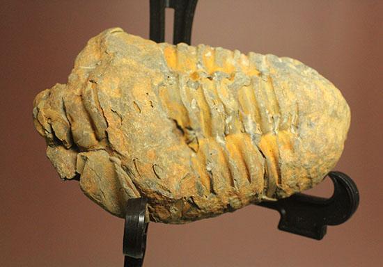 北アフリカ大陸モロッコ産三葉虫カリメネ