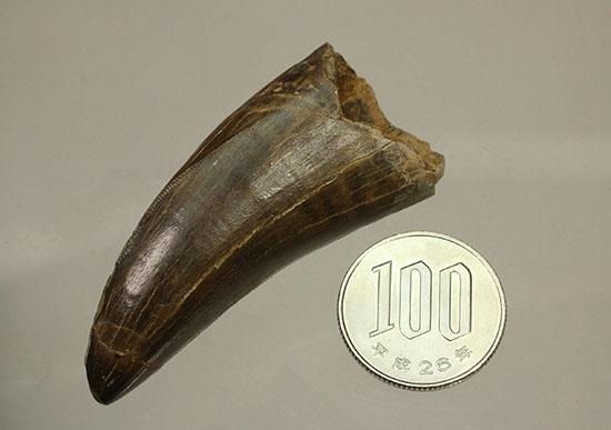 ティラノサウルス(Tyrannosaurus)の歯化石
