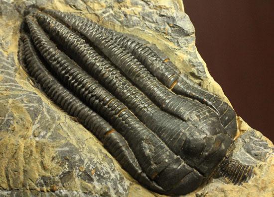 衝撃的な保存状態。ドイツ産ウミユリEncrinus liliiformis