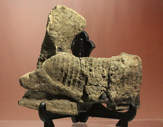 ハドロサウルスのアゴ化石