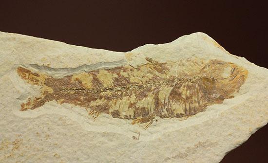 グリーンリバーフォーメーションで代表的化石、魚ナイティア