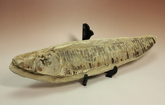 ブラジルセアラ産2kg近い立派な魚化石。カマス類。