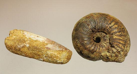 モロッコ産本物ペア化石 スピノサウルス歯とアンモナイト