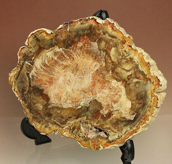 明るいブラウンカラーに包まれたインテリアにもなる木化石!マダガスカル産木化石、珪化木/中生代三畳紀(2億5100万 -- 1億9500万年前)【ot598】