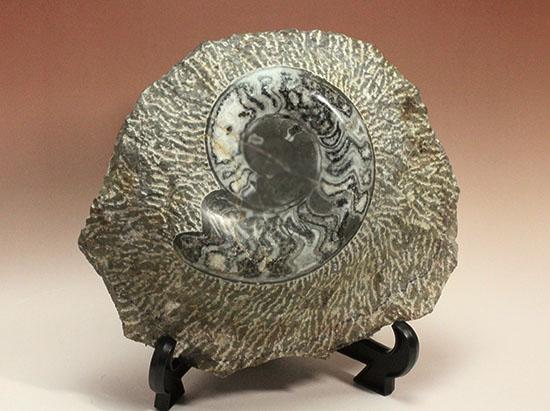 堂々サイズの初期型ゴニアタイト、モロッコ産5キロオーバー標本です。/中生代白亜紀(1億3500万 -- 6500万年前)【an736】
