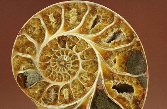 構造が丸わかり!厚みあり!立体的なアンモナイト(Ammonite)のハーフカット標本