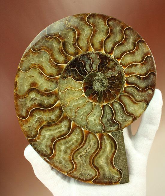 大判!!アンモナイト(Ammonite)が芸術品の域に!マダガスカル産スライスアンモナイト/中生代白亜紀(1億3500万 -- 6500万年前)【an748】