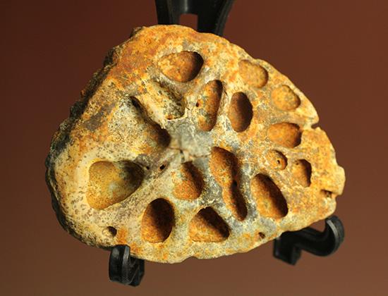 鉄壁の防御壁、古代のワニ(クロコダイル)の脊椎プレート