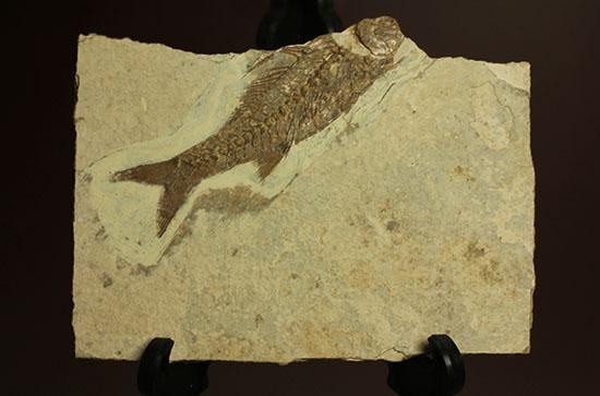 背骨にご注目!魚化石プレート標本