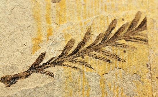 インテリア化石にぴったり!手の平サイズの植物化石