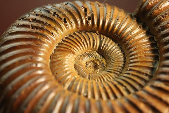 褐色のペリスフィンクテスアンモナイト(Ammonite)