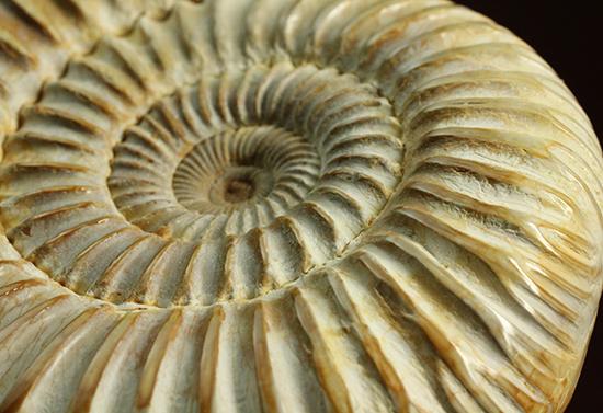 圧倒的な肋模様!モデル的標本のペリスフィンクテスアンモナイト(Ammonite)