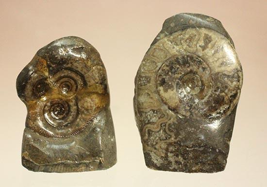 愛らしいサイズの北海道産アンモナイトペアセット(Ammonite)