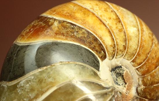 味わい深い色のオウムガイ(Nautilus)の美化石