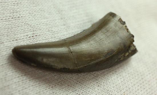 官能的なフォルムに一目惚れ。アルバートサウルスの幼体の高品位歯化石