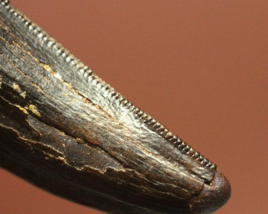 野太い!食物連鎖の頂点に君臨していたダスプレトサウルスの太い歯化石