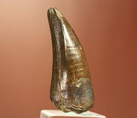 ダスプレトサウルスの見事な前上顎骨歯。これがハンター仕様の独特な形状だ!