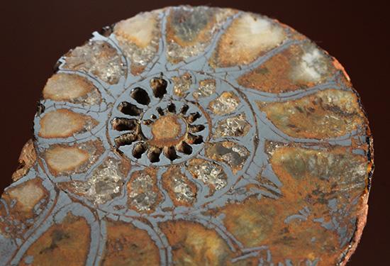 直径5センチのヘマタイトアンモナイト。ペア化石です(Ammonite)
