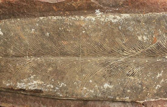 脈を見事に保存された一枚物の葉化石。マッドボールに包まれた広葉樹の葉化石。
