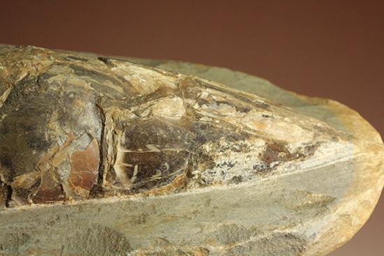 超!立体的なブラジル・セアラ産の古代魚ラコレピス