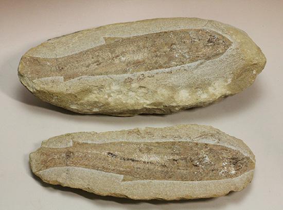 美品!古代魚をすっぽり包んだタイムカプセルを書斎に展示しませんか。