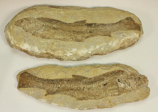 完全2枚組の古代魚パラエロプス。やわらかく落ち着いた印象。本体計測27cm4kgに迫る重量。