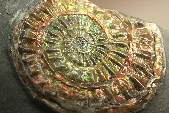 光の芸術!イングランド産カロセラス。イリデッセンス(iridescence)の典型種。