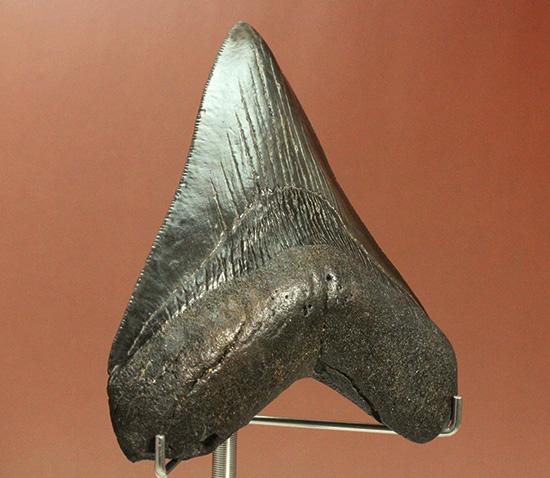 ロマンたっぷりのブラックメガロドンの上質な歯化石