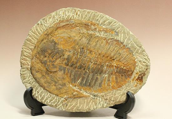 三葉虫のなかでも特に古い型。アンダルシア