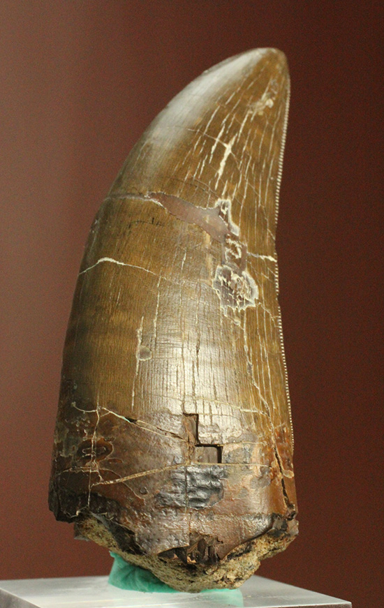 これぞコレクションのど真ん中。迫力とクオリティを兼ね備えたティラノサウルス・レックスの歯化石
