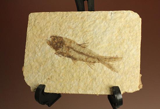 最高の保存状態、グリーンリバー産魚化石
