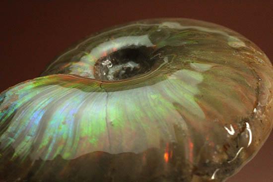 久々のご紹介!超絶イリデッセンス(iridescence)を有するマダガスカル産アンモナイト(Ammonite)