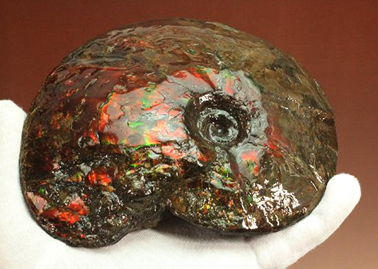 深紅を呈する希少なアンモライト(Ammolite)の完全体/中生代白亜紀(1億3500万 -- 6500万年前)【al143】